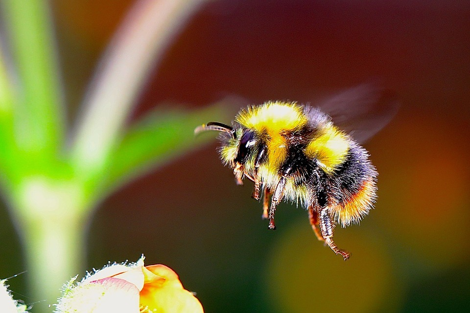 bumble bee flying around a flower