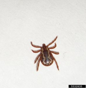 american dog tick on the white floor