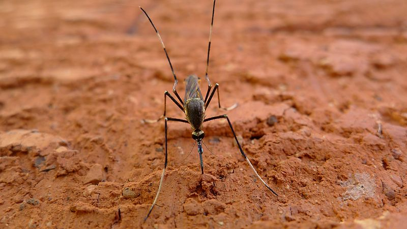 elephant mosquito on red soil
