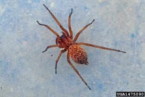 a hobo spider