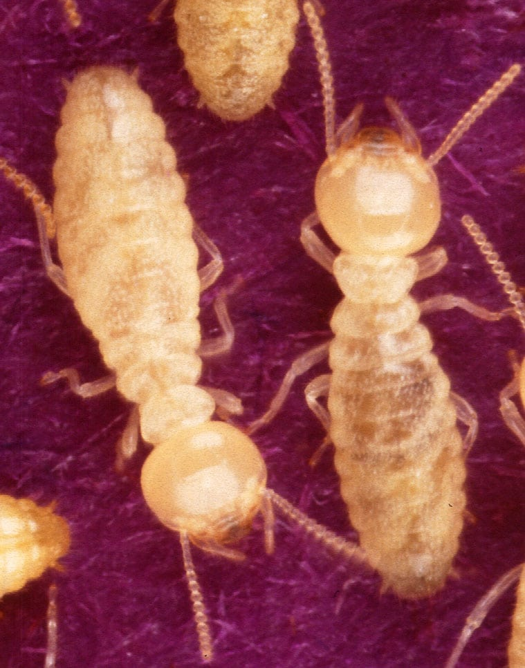 Baby Termites Vs Adult Termites What Is The Difference
