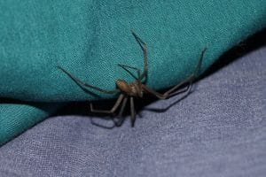 a brown recluse spider on fabric material