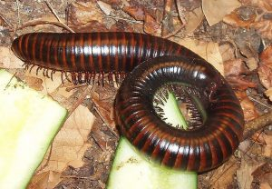 Millipedes and Centipedes in the House: Are They Dangerous?