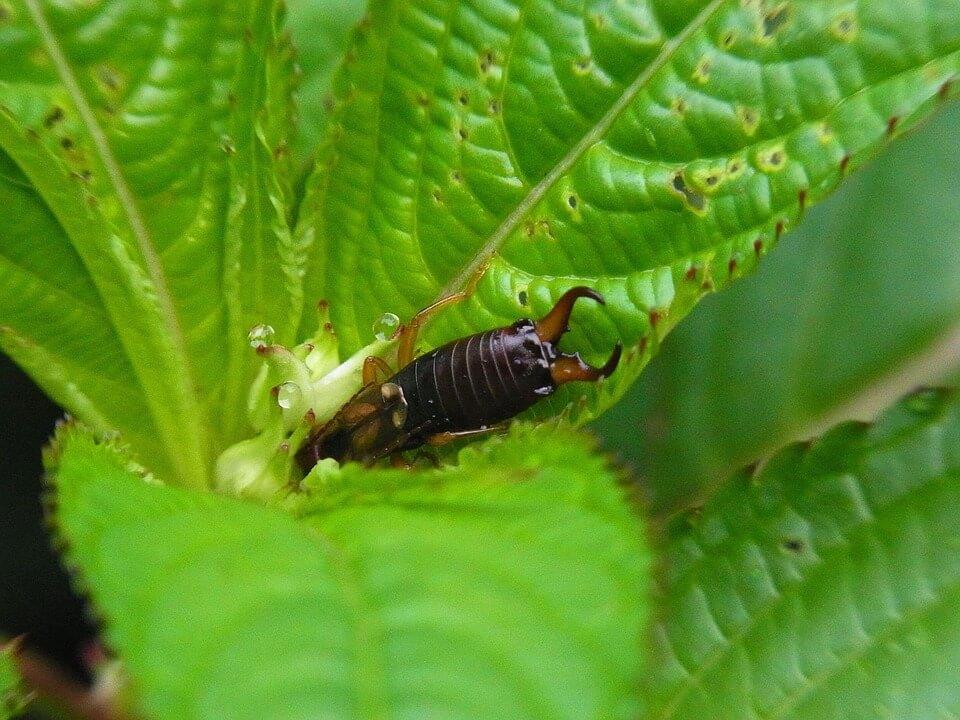 an earwig on the leaf