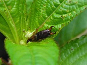 earwig on a leaf