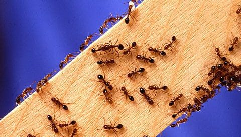 fire ants on wood