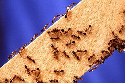 fire ants on wood