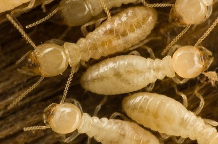 termite swarming on the ground