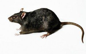 a black rat on white background