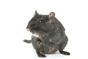 black rat on white background
