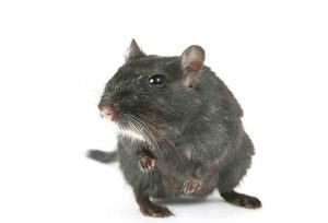 grey rat on white background