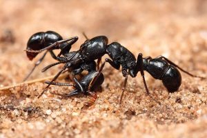 two black ants on the ground