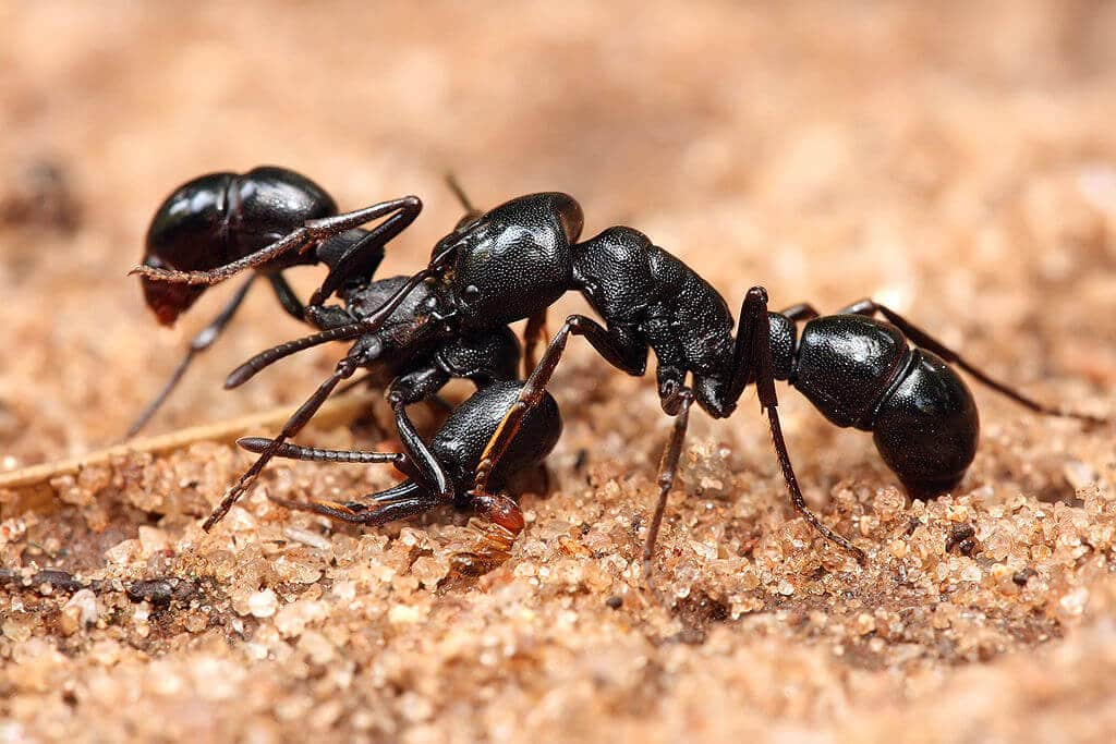 two carpenter ants on the ground