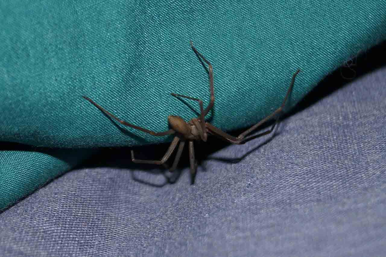 brown recluse spider on a sofa