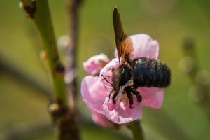 Carpenter Bee And Flower