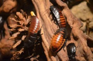 madagascar hissing cockroaches on a tree branch one is laying an egg
