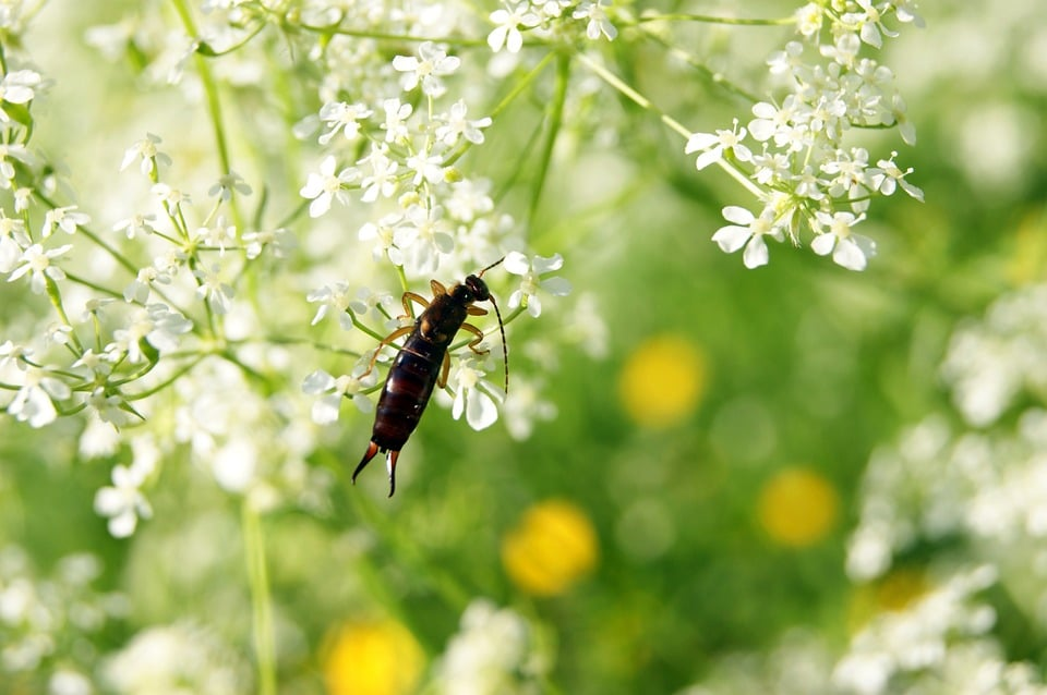 Photo Of Earwig On A Plant