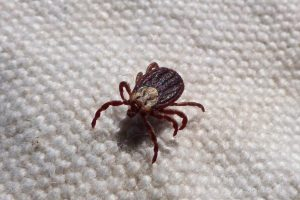 a tick on a carpet