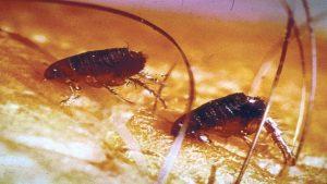 fleas on animal's skin