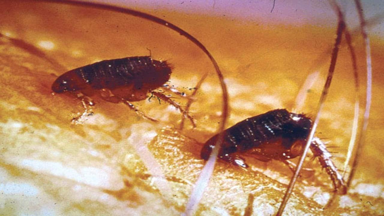 fleas on a pet's body