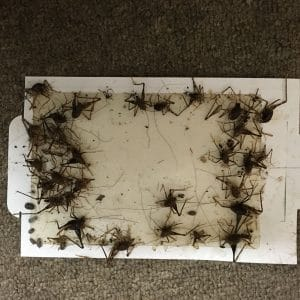 about 20 dead crickets on a trap caught by rest easy pest control's cricket exterminator