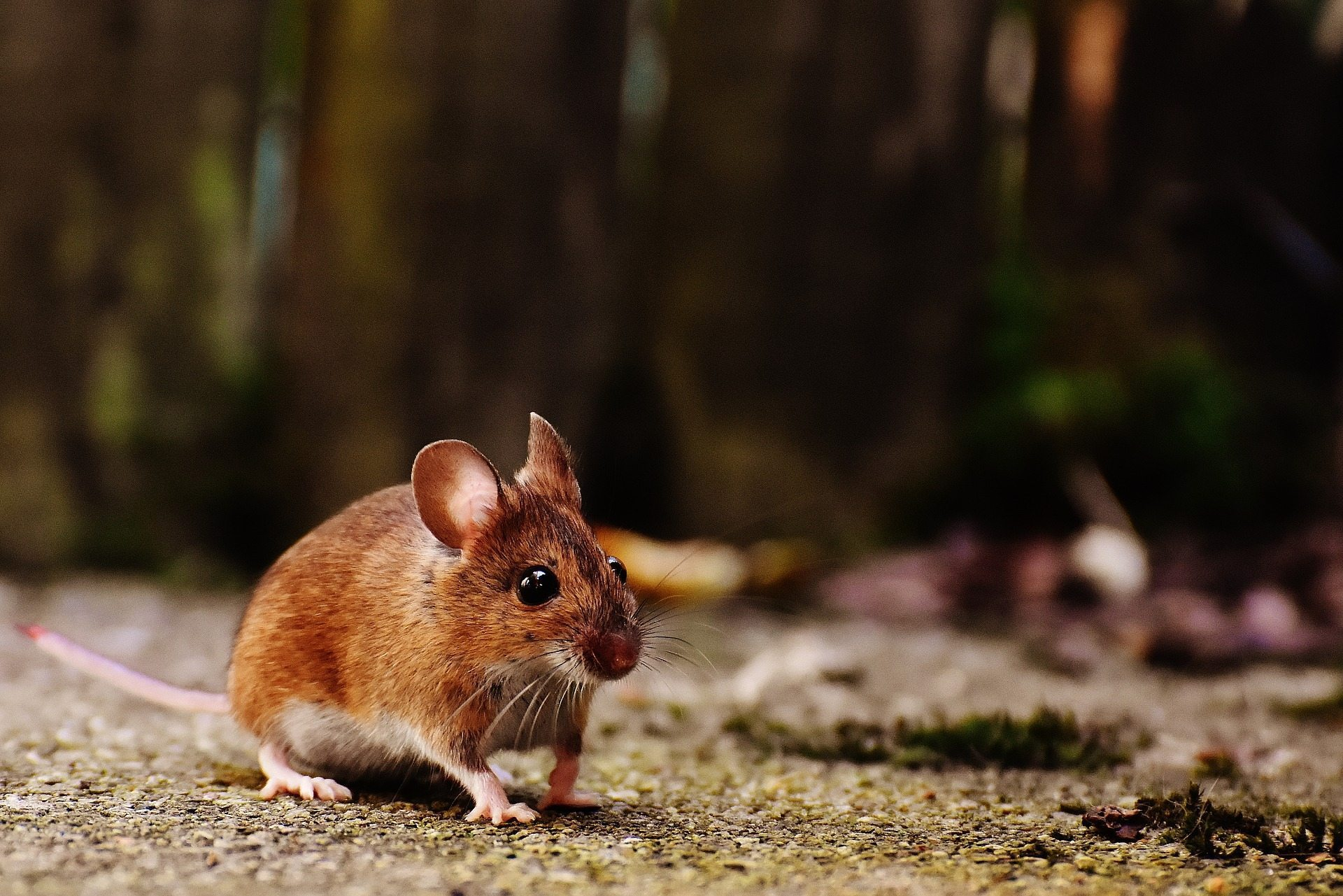 brown mouse on the ground