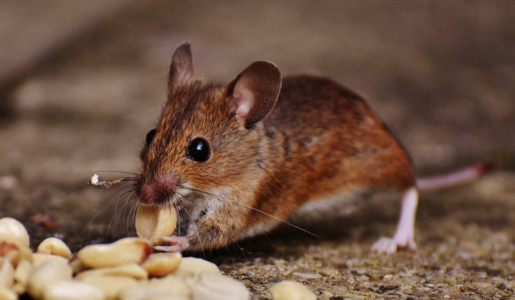 brown mice eating peanuts
