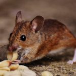 brown mouse eating peanuts