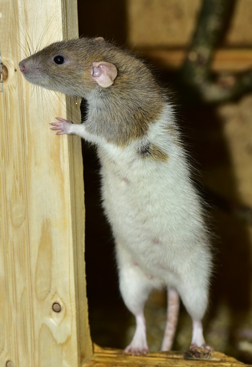 Rat Standing On Two Legs