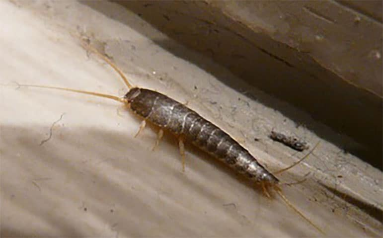 a silverfish on the sink