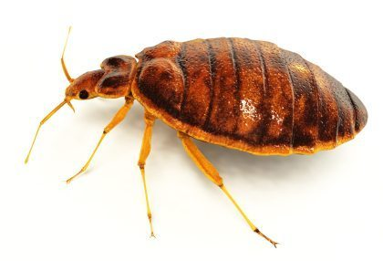 adult bed bug on white background