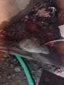 Rat Hiding