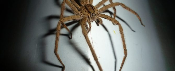 wolf spider on the wall