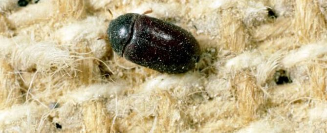 a black carpet beetle on the rug