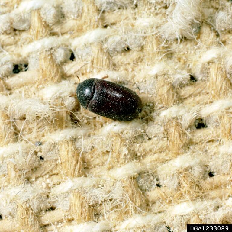 a black carpet beetle on the rug