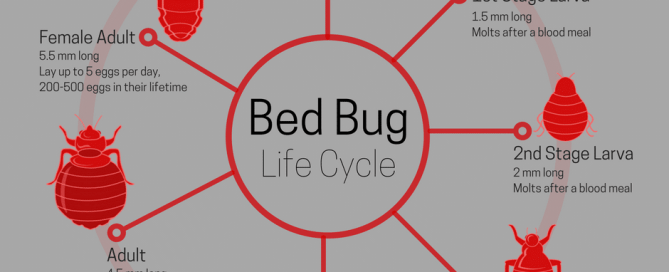 Bed Bug Life Span: Appearance and Life Cycle