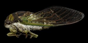 Cicada close up, Interesting Facts About Cicadas